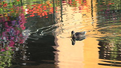 Duck crossing an impressionist painting (Croix-roussien) Tags: france annecy ducks reflection flowers colors water nature animal bird urban
