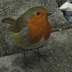 Rouge gorge (JMVerco) Tags: square oiseau coth coth5