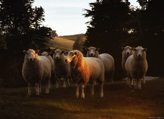 The Magnificent Seven (Kevin_Jeffries) Tags: sheep new light lighting jeffries nikon landscape nikonphotography d90 nz newzealand art wool tree hill