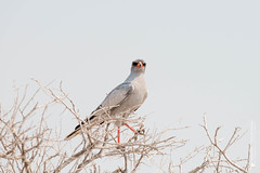 DSC_4032.JPG (manuel.schellenberg) Tags: namibia etosha nationalpark animal goshawk