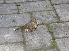 curious song thrush (richie rocket) Tags: scillies seasearch scillyisles cornwall uk