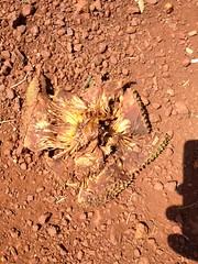 What remains of a jackdruit (kenya saijiki) Tags: uganda jackfruit fruit remains discard
