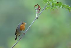 Early bird (Guido de Kleijn) Tags: robin erithacusrubecula roodborst solleveld guidodekleijn nikond500 nikon200500f56