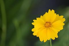 DSC_0148 (Kelson Souza) Tags: flor primavera flower flowers natureza beleza jardim jardinagem garden gardens colorido floricultura petalas ptalas florescer flores margarida margaridas