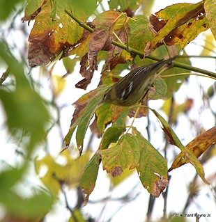 Black-throated Green Warbler_N8459_5872.NEF