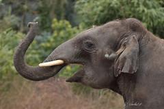 Olifanten Emmen (K.Verhulst) Tags: elephant elephants emmen noorderdierenpark olifanten dierentuinemmen asiaticelephants aziatischeolifanten