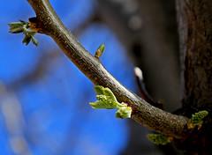 Leafing Out, SUU Campus, 5 April 2015 (3) (Bob Palin) Tags: 15fav usa tree canon utah spring buds ironcounty cedarcity club100 100vistas instantfave canonef24105mmf4lisusm suucampus orig:file=2015040500806adjust1024