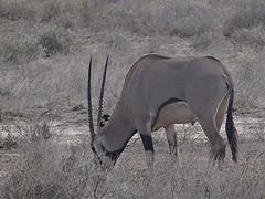 Beisa-Spiessbock - Oryx beisa, NGIDn888009036 (naturgucker.de) Tags: oryxbeisa naturguckerde beisaspiessbock 879702921 1493210511 chorstschlüter ngidn888009036