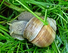 Snail (april-mo) Tags: france nature animal snail escargot nord gastropode
