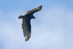 Turkey Vulture Flapping (Scott Alan McClurg) Tags: wild summer urban nature turkey fly flying spring pond bluesky neighborhood delaware vulture buzzard soaring flapping flap soar naturephotography cathartes caura cathartidae lifewildlife