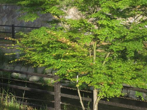 寝屋川の新緑