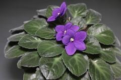 Violette-IT_FOV (Joserri) Tags: madrid espaa spain sigma joserri merrill foveon alcorcn x3 alcorcon sd1 x3f foveonx3 sigma1750mmf28exdcoshsm sd1merrill sigmasd1merrill sigmaphotopro621