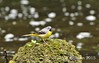 Grey Wagtail parent (Vee living life to the full) Tags: flowers public birds yellow gardens wales flora landscaping may blumen chick parent british wagtail 2015 isleofanglesey nikond300 plascadnant shootaboot shootaboot2