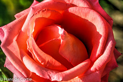 Bloemen in de tuin (Hans de Cortie) Tags: italy rose roos toscana toscane italie itali toscany casoledelsa