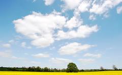 Oil Seed Rape Field (Alex Hannam) Tags: blue sky news tree weather yellow clouds spring leicester oilseedrape