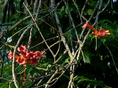 Trumpet Creeper (Dendroica cerulea) Tags: summer plant flower newjersey nj vine highlandpark trumpetvine campsisradicans campsis trumpetcreeper bignoniaceae middlesexcounty lamiales tecomeae ayresbeach redsmarina