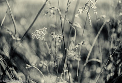 Summer Dreams (Mirrored-Images) Tags: backlighting bokeh closeup flora flower grasses light macro nature nosterfieldnaturereserve plant silverefexpro wildflower mono monochrome bw blackandwhite