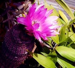 Echinocereus rigidissimus var. rubrispinus (nolehace) Tags: sanfrancisco plant flower spring bloom var 616 echinocereus rigidissimus rubrispinus nolehace fz1000