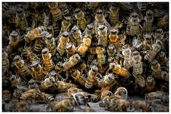 DSC08321 (mbisgrove) Tags: hive kortright sony a6300 insect honey sel90m28g bee macro