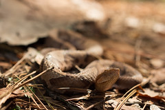 Blur (commercialam3n) Tags: road macro nature field zeiss canon rebel reptile snake cruising snakes herpetology copperhead herping t5i