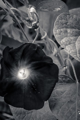 morning glory in black and white