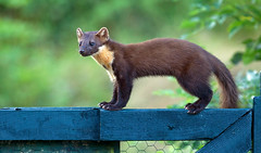 Pine Marten (Chas Moonie-Wild Photography) Tags: pine marten wild scotland chas moonie mammal martes