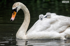 Hitchin' a Ride (RichardBeech) Tags: cygnets swans young riding parent bird poole park dorset uk cruise ride hitching takingiteasy protection july2016