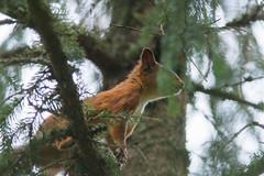Harvester (rysykas) Tags: orav squirrel metabonesivt sony a6300 canonef300mmf4lisusm 420is