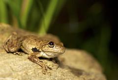Northern Laughing Treefrog - Litoria rothii (cramptonnic) Tags: wildlife amphibian frog treefrog hylidae litoria wildlifephotography litoriarothii northernlaughingtreefrog