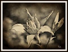 Lely (patrick.verstappen) Tags: lely flower belgium gingelom google garden sepia july sigma summer photo picassa macro pinterest pat ipernity ipiccy d7100 flickr facebook flowers nikon nature