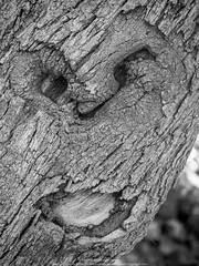 Grito de dolor de un rbol (TEVR) Tags: laorotava tenerife canarias arboles airelibre tronco olympus olyomdem10ii