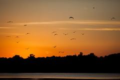 Birds in flight (michaelraleigh) Tags: sunset red sun lake reflection minnesota canon landscape outdoors serene secluded infocus 200mm highquality albertlea f28l myrebigisland