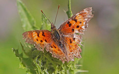 CAD0001122a (jerryoldenettel) Tags: butterfly insect nm comma 2016 nymphalidae nymphalinae greencomma polygoniafaunus riocostillapark taosco