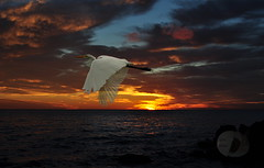 Egret at sunrise (firstlookimages.ca) Tags: nature natureportrait sunrise birds egrets water lakeontario lake color art artistic artisticmanipulation digitalart digitalmanipulation detail digitalphotography hss wow