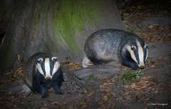 Badgers (Meles meles) - Buckinghamshire (Alan Woodgate) Tags: