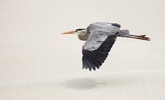 Great Blue Heron (Ardea herodias) (TrekLightly) Tags: bird mexico flight lindblad baja greatblueheron ardeaherodias treklightly