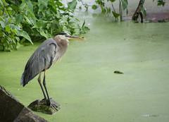 Heron (Seth J Dewey Photo) Tags: newhampshire nashua flickrphotowalk