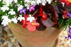 In The Pot (Anna Hari) Tags: 2016 summer uk england fujifilm xm1 nature garden flowers bright red redleaves white pink purple macro flowerpot