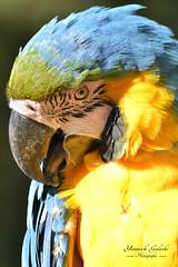 Perroquet... (Yannick Galeski) Tags: zoo couleurs oeil bec oiseau couleur perroquet zoodelapalmyre multicolore captivit