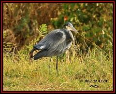 BLACK-HEADED HERON (Ardea melanocephala)......MASAI MARA......SEPT 2015 (M Z Malik) Tags: nikon d3x 200400mm14afs kenya africa safari wildlife masaimara kws exoticafricanwildlife exoticafricanbirds ngc npc