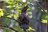 Hazel Grouse (Tetrastes bonasia) Рябчик (Mikhail & Yana) Tags: bird birdsofrussia hazelgrouse tetrastesbonasia рябчик