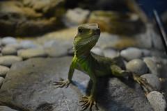 Reptile #1 (medanian) Tags: zeiss nikon reptile indoor collection carl langkawi underwaterworld kedah cenang manuallens purist closefocusing d7100 distagont2825 noeditinginvolved jewelofkedah