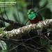 Resplendent Quetzal, Pharomachrus mocinno. Male