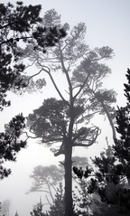 Foggy Pines I (Joe Josephs: 2,650,890 views - thank you) Tags: landscapephotography landscapes trees forests california californiacentralcoast californiacoast californialandscape travelphotography travel pinetrees pineforests trek hiking fineartphotography fog foggy foggyweather cambriacalifornia cambria joejosephsphotography joejosephs