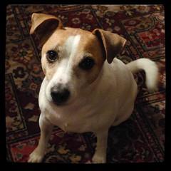 Feed me Sal... pleeeeeeeeeease (Squatbetty) Tags: holly jackrussell parsonsjackrussell terrier grotbag thebee dinnertime