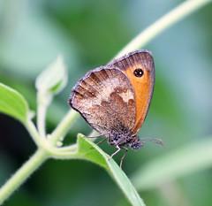 Gatekeeper Underwing! (RiverCrouchWalker) Tags: thegatekeeper underwing butterfly southwoodhamferrers essex july summer 2016 insect invertebrate pyroniatithonus fencreek