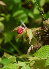 Wild raspberry (devoutly_evasive) Tags: ontario canada northern northwestern wild raspberry