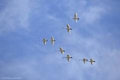 Tundra Swan AG (martinaschneider) Tags: swan tundraswan flight flying bird birds aylmer ontario spring bluesky