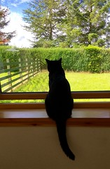 Planning my escape (mootzie) Tags: windowsill marley cloudsskyblue catpetescapeyearningoutinwindowgardengreenblacktailfluffy