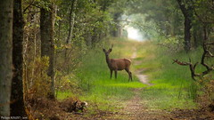 Cerf, seconde tte (Phil du Valois) Tags: cerf faune sauvage libre domaine chambord red deer stag wild wildlife free